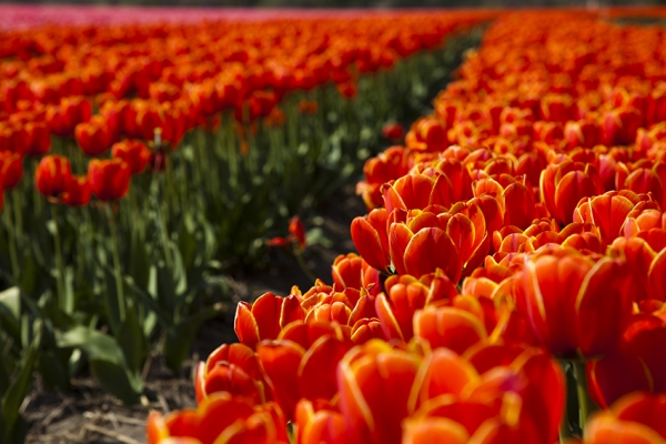 kerekpartura-hollandia-tulipanviragzas-86383888F-97E0-9A47-9627-739A7446D849.jpg